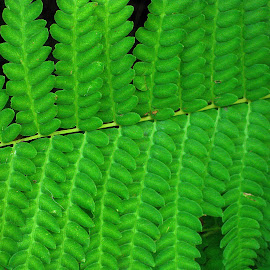 Green fern leaf design. by Dan Dusek - Nature Up Close Leaves & Grasses ( fern, green, nature up close, nature photography, repetition,  )