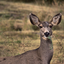 Eating Doe by John Willey - Animals Other ( luncch, doe, deer )