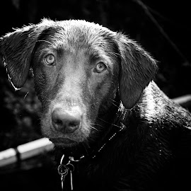 Daphne 11 mos 2 by David Leer - Animals - Dogs Portraits ( work, oregon, wrc, daphne, lincoln, 2014, coast range, alsea, cute, lab, close up, portrait, clearcut, mountains, chocolate, female, county, pet, fall, outdoor, dog, animal,  )