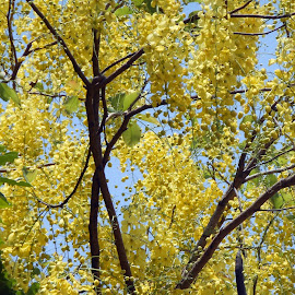 Amaltas by Ranjana Bharij - Novices Only Flowers & Plants