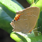 Southern Oak Hairstreak