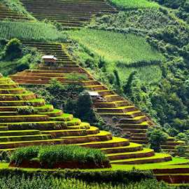 Terrace by Nguyen Tho - Landscapes Travel ( terrace, vietnam, yen bai, corn, mu cang chai )
