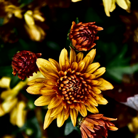 mums by Tim Hauser - Flowers Flowers in the Wild ( nature, art, fine art, mums, flowers, fall, color, colorful )