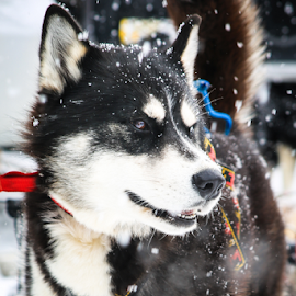 Sirius by Roberta Janik - Animals - Dogs Portraits ( sled dog, husky, dog sledding, dog )