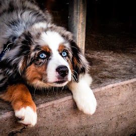 Blue Eyed beauty by Noëlle Brown - Animals - Dogs Puppies ( blue, puppy, dog, eyes )