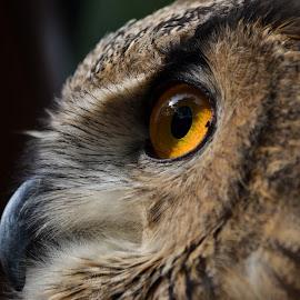 owl by Deven Dadbhawala - Animals Birds
