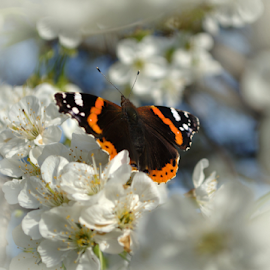 butterfly by Ciao Bello - Novices Only Wildlife ( butterfly cherry  flower blossom spring )