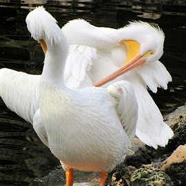 IS MY BUTT TO BIG? by Walter Carlson - Animals Birds ( tourist, florida, comical, fun, white pelicans, birds )