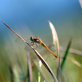 DragonFly by Adi Supriono - Animals Other ( macro fly dragon indonesia jember )
