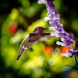 Hummingbird 4201 by Ken Wade - Animals Birds ( calypte anna, salvia leucantha, salvia, anna's hummingbird )