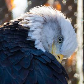 Eagle Eye by Laura Bergman - Novices Only Wildlife ( mn, eagle, zoo, wildlife )