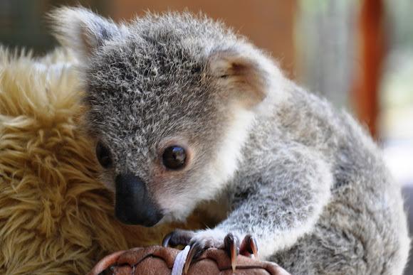 Koala baby project noah - Pics of baby koalas ...
