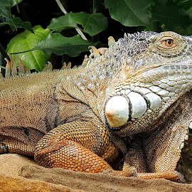 Awesome. by Kathryn Willett - Animals Reptiles ( captive, photography portrait, reptile, animal )