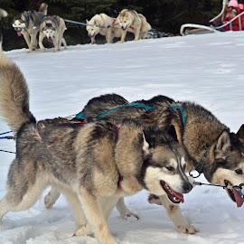 Huskies by Jaliya Rasaputra - Animals - Dogs Running (  )