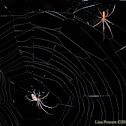 Long-jawed Orb Weavers (male & female)