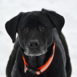 My Girl Sheeba by Lisa Morejon - Animals - Dogs Portraits ( dogs, maine, snow, black labrador )