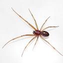 False Black Widow (male)