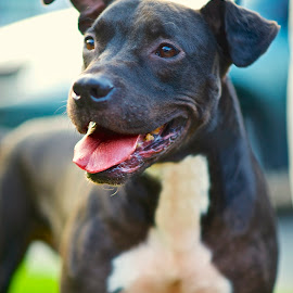 Schyluer by Martha Pope - Animals - Dogs Portraits ( pittie, shelter, adopt, foster, rescue, pit bull, puppy, dog )