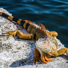 Brown Mexican Iguana by Jacob Padrul - Animals Reptiles ( scary, iguana, alien-looking, fearsome, reptile, brown iguana )