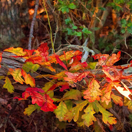 October beauty by Lowell Griffith - Nature Up Close Leaves & Grasses ( tree, color, fall, forest, october, leaves,  )