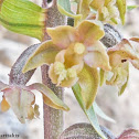 Small-leaved helleborine