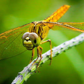 Dragonfly by Mursalat Mustaring - Novices Only Macro ( sorowako, macro, dragonfly, photooftheday,  )