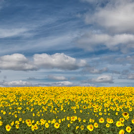 Sea of Yellow by Robert Fawcett - Landscapes Prairies, Meadows & Fields ( clouds, autumn, sunflowers, summer, maryland, places )