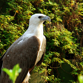 Eagle has landed by Marcus Mendoza - Animals Birds ( bird, captivity, eagle, pet, animal )