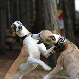 by Shane Deakin - Animals - Dogs Playing ( whippet )