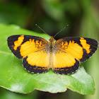 Tegosa Butterfly