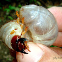 Rhinoceros Beetle Grub