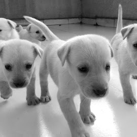puppy army by Anand Choudhari - Animals - Dogs Puppies ( puppies, black and white, animal )