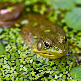 Staying Put by Rod Schrader - Animals Amphibians