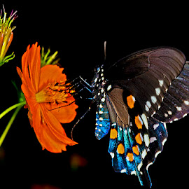 Pipevine swallowtail on coreopsis by David Winchester - Animals Insects & Spiders