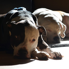 Napt Time by Deirdre Cavener - Animals - Dogs Portraits
