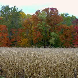 Through the cornfield by Gayle McMahan-Vuletic - Landscapes Prairies, Meadows & Fields ( fall colors, cornfield, fall trees, mansfield indiana, covered bridge festival, fall, color, colorful, nature )