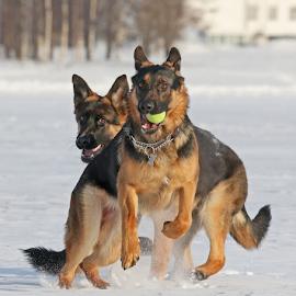 Shepherds dance by Mia Ikonen - Animals - Dogs Playing ( playful, imposing, finland, noble, german shepherd,  )