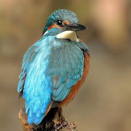Kingfisher (Alcedo atthis) by Halil Karahmetovič - Animals Birds