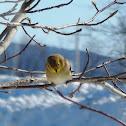American Gold Finch