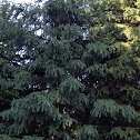 Colorado blue spruce