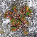 Stone Loving Plant