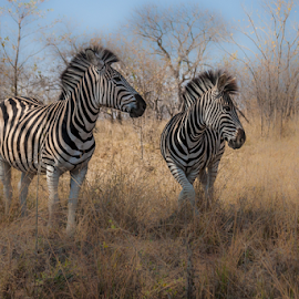 Zebra by Wim Moons - Animals Other Mammals ( south africa, wildlife, krugerpark, zebra )