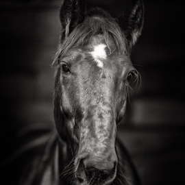 Midnight by Barrie Spence - Animals Horses ( blackburn house equestrian centre, equine, monochrome, horses, midnight, black and white, horse, equestrian portrait, equestrian )