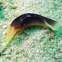 Lovely Headshield Slug
