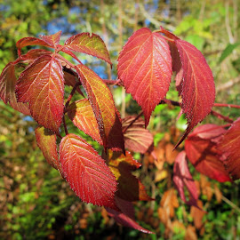 Autumn foliage by Julie Kendall - Nature Up Close Leaves & Grasses ( plant, blackberry, wild, ireland, colourful, nature, autumn, foliage, beautiful, leaf, leaves, bramble,  )