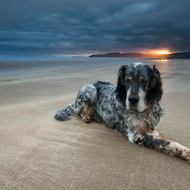 'Setter At Sunrise' - Benllech, Anglesey by Kris Williams - Animals - Dogs Portraits ( english setter, sunrise, dog, landscape, portrait )