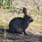European Rabbit; Conejo