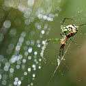 Orchard Orb Weaver Spider