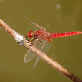 Ginger Dragonfly Was There by Lucia Azur - Animals Insects & Spiders ( macro, red, dragonfly )