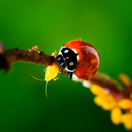 Ladybug Lunch by Ken Wade - Animals Insects & Spiders ( predator and prey, aphid, natural insecticide, ladybug, insects, predators,  )